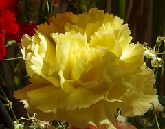 Soft Yellow (vtpeacenik) Tags: flower yellow vermont april carnation