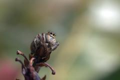 Regarder vers l'au del et l'infini (Fabisa00) Tags: spider jumping araigne sauteuse saltique