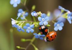 Two Ladybirds on Brunnera macrophylla (Bakelaar en Waardenburg) Tags: blue macro nature garden season spring natuur ladybird tuin garten bloemen tuinen bakelaarenwaardenburg bloemenfotografie mariannebakelaar tuinfotografie