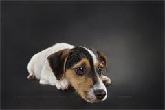 On the edge (Marijke M2011) Tags: pet animal puppy studio indoor hond terrier jackrussell huisdier littledog petportrait dogportrait onschuld studiolightning reutje roughcoatedjackrussellterrier hondenportret
