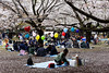 20160405-043-Picnics under Yoyogi-koen cherry blossoms (Roger T Wong) Tags: travel people holiday japan garden balloons tokyo spring picnic crowd harajuku cherryblossoms yoyogikoen 2016 canonef70200mmf4lisusm canon70200f4lis canoneos6d rogertwong