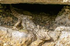 _VMG9480 (V.Maza) Tags: naturaleza macro spain nikon catalunya lagarto lagartija dragón salamanquesa badalona airelibre d7100 serraladademarina santjeronidelamurtra