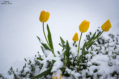 Irony- April 9, 2016 (zachary.locks) Tags: flowers winter snow storm cold green yellow spring funny warm seasons tulip irony confused bloom late ironic unsual cy365 zlocks