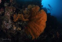 Seafan (Randi Ang) Tags: bali wall canon indonesia photography eos underwater angle wide dive scuba diving fisheye ang 15mm randi 6d amed jemeluk