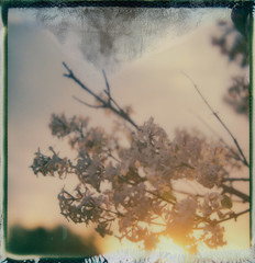 The final sendoff (Celina Innocent) Tags: flowers sunset sx70 manipulation lilac polaroidweek roidweek impossibleproject