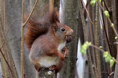 Eichhhrnchen - red squirrel - Sciurus vulgaris (olafkerber) Tags: red nature squirrel outdoor wildlife natur vulgaris sciurus eichhhrnchen colafkerber