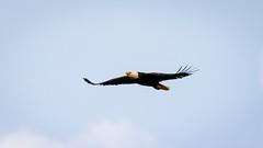 Haw River Eagle (cwhitted) Tags: canon eos eagle baldeagle sigma birdofprey bynum hawriver chathamcounty canoneos400d canoneosdigitalrebelxti bynumbridge sigma150600mm sigma150600mmf563dgoshsmcontemporary sigma150600mmcontemporary sigma150600mmf563dgoshsmc