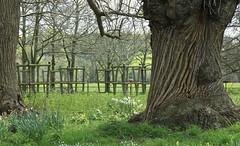 IMG_4801 (Marianne Bevis) Tags: trees treetrunk nationaltrust berkshire basildonhouse