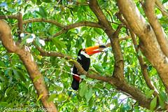 Tucano (Sebastiao Carlos Borges) Tags: toucan