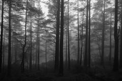 Fog in the forest (MortenTellefsen) Tags: trees blackandwhite bw tree nature lines norway fog forest forrest natur norwegian tur skog april quite tre tke norsk stille svarthvitt kanadaskogen fyllingsdalen