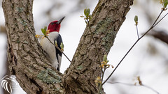 Red-headed Woodpecker - 1 (RGL_Photography) Tags: nature birds us newjersey woodpecker unitedstates wildlife jackson jerseyshore ornithology oceancounty mothernature gardenstate redheadedwoodpecker melanerpeserythrocephalus wildlifephotography colliersmillswildlifemanagementarea nikond610 nikonafs200500mmf56eedvr