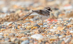 Little Ringed Plover (The Rustic Frog) Tags: camera sea 2 wild beach nature digital canon lens eos coast little stones norfolk pebbles ring 7d 100400mm plover ringed hunstanton markii wader
