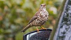 Misteldrossel (Mistle Thrush) (oliver_hb) Tags: garten vogel drossel singvogel misteldrossel