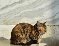 (orientalizing) Tags: cats animals turkey istanbul mammals sultanahmet archaeologicalmuseum domesticates