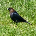 Brown-headed Cowbird thumbnail