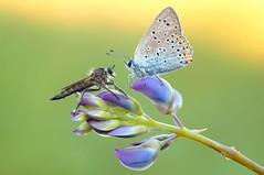 Eye to eye... (Zbyszek Walkiewicz) Tags: macro closeup butterfly sony butterflies coth5