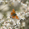 Comma on spring blackthorn (angus molyneux) Tags: butterfly spring blossom bokeh northamptonshire comma blackthorn prunus spinosa pitsfordreservoir