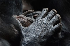 pan paniscus (Joachim S. Mller) Tags: animal germany mammal deutschland zoo monkey hessen frankfurt ape monkeys juvenile primate apes frankfurtammain bonobo tier affen affe babyanimal schimpanse frankfurterzoo menschenaffe primat jungtier sugetier pygmychimpanzee zoofrankfurt menschenaffen panpaniscus dwarfchimpanzee zwergschimpanse gracilechimpanzee borgoriwald