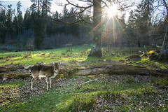 deer in the blackforest (Red-Shadow) Tags: sunset shadow wild animal forest deer wald schwarzwald blackforest reh tier