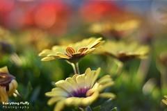DSC_0042 (Fluffphoto) Tags: flowers sunset sunlight golden lowes