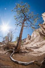 Dramatic tree roots and sunstar (Vironevaeh) Tags: travel newmexico southwest west tree nature outdoors hiking wideangle sunburst tentrocks nationalmonument americanwest theamericanwest sunstar thewest kashakatuwetentrocks