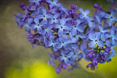 The Loveliness of Lilacs (Colormaniac too) Tags: flower macro floral closeup garden botanical spring colorful purple bokeh blossoms lavender olympicpeninsula sequim lilac april pacificnorthwest washingtonstate blooming distressedtextures flypapertextures