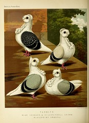 n367_w1150 (BioDivLibrary) Tags: pigeons fieldmuseumofnaturalhistorylibrary bhl:page=49799235 dc:identifier=httpbiodiversitylibraryorgpage49799235