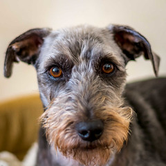 DSC_0013  - George... (SWJuk) Tags: uk portrait england haircut home dogs closeup 50mm george nikon unitedkingdom britain lancashire terrier gb lightroom burnley terriermix d7100 rawnef swjuk nikond7100 littledoglaughedstories