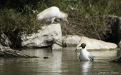 _DSC0369 (chris30300) Tags: france heron de pont parc oiseau camargue gau saintesmariesdelamer flamant provencealpesctedazur ornithologique
