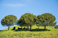 Stone Pine Trees - Rolling Hills Open Space Park - Solano County - California - 26 March 2016 (goatlockerguns) Tags: california park county trees usa mountains west tree nature coast oak open natural space unitedstatesofamerica vacaville hills trail bayarea eastbay solano rolling fairfield vaca