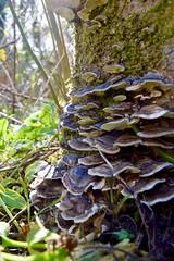 Brackets (monty689) Tags: tree rot mushroom dead decay bracket fungi fungus stump ash toadstool backlit mycology versicolor turkeytail trametes