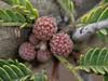 Acacia farnesiana (L.) Willd., 1806 (carlos mancilla) Tags: olympussp570uz raynoxdcr250 flores flowers acaciafarnesianalwilld1806 acaciafarnesiana vachelliafarnesianalwrightarn1834 vachelliafarnesiana huizache aromo huisache needlebush sweetacacia leguminosae mimosoideae