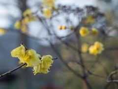 Wintersweet (odeleapple) Tags: digital 50mm olympus zuiko e5 wintersweet zd