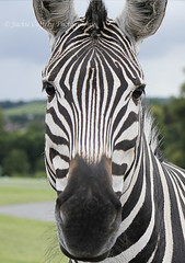 Zebra (pixiepic's) Tags: mammal nose eyes outdoor head posing zebra strips westmidlandssafaripark coth thesunshinegroup