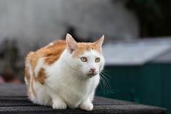 Willow (No_Water) Tags: red white cat deutschland ginger tabby tiger willow katze badenwrttemberg ebersbachanderfils