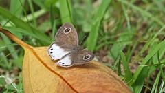 Butterflies of Sri Lanka (jaytee27) Tags: naturethroughthelens whitefourringypthimaceylonica