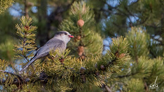 Mouthful of Berries | Mountain Gray Jay (anoopbrar) Tags: light red wild portrait mountain tree bird nature birds pinetree pine grey jay berries outdoor wildlife birding gray bif grayjay greyjay mountaingrayjay