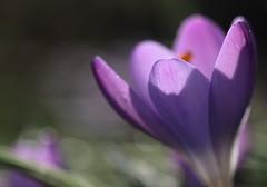 Life in colour - La vie en violet (CcileAF) Tags: flowers plants colour macro nature canon petals purple bokeh magic dreamy tamron