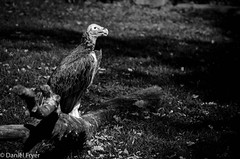 Vulture on a Roost (danfryer2) Tags: autumn blackandwhite bird fall animals nikon vulture detroitzoo d5100