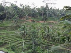 (procrast8) Tags: bali field indonesia rice terrace jatiluwih
