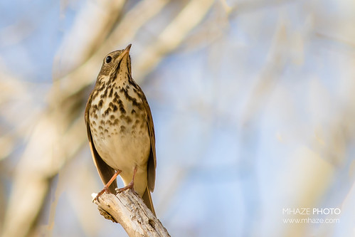 Mr Hermit Thrush