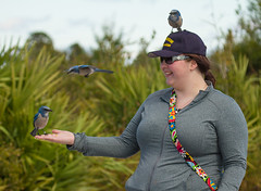IMG_4063 (Bill Jelen) Tags: hat birding scrubjay rockledge birdonhat