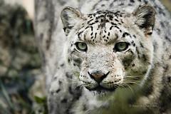IMG_0010 (StevenReburgh) Tags: portrait animal cat big eyes tierpark snowleopard tier catofprey hellabrunn unciauncia ounce raubkatze schneeleopard irbis pantherauncia