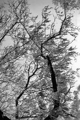 Ricoh 35 Tmax 100 Tanglewood (oldnavychief 609) Tags: blackandwhite tree film kodaktmax100 epsonv700 ricoh35