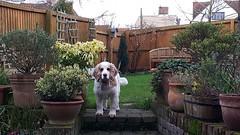 Jasper (Tammy Jackson) Tags: winter garden suffolk pots cockerspaniel lavenham