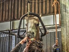 P1290096 (gill4kleuren - 11 ml views) Tags: horses dentist haflinger tandarts 2015 hengst