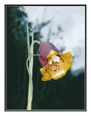 fritillaria pyrenaica (2)c b (luka116) Tags: 2005 france fleur aude fritillaria liliaces fritillariapyrenaica pechbugarach