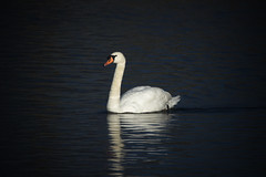 Mute Swan (grahambrown1965) Tags: bird water birds swan pentax wildlife feathers feather sigma reservoir swans waterfowl ricoh mute muteswan muteswans birdwatcher reservoirs marsworth marsworthreservoir 150500mm sigma150500mm sigma150500mmf563dgoshsm pentaxk3ii ricohimagingcompanyltdpentaxk3ii