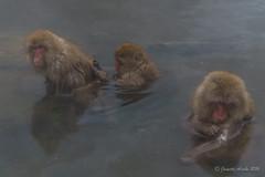 Snow Monkeys - looking (NettyA) Tags: travel winter wild pool animals japan asia wildlife nosnow naganoprefecture 2015 yudanaka snowmonkeys yamanouchi macacafuscata japanesemacaques jigokudanimonkeypark yokoyuriver