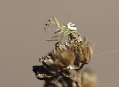 Misumena male (Phil Arachno) Tags: germany spider hessen deu arthropoda arachnida spinnen araneae eppstein chelicerata thomisidae